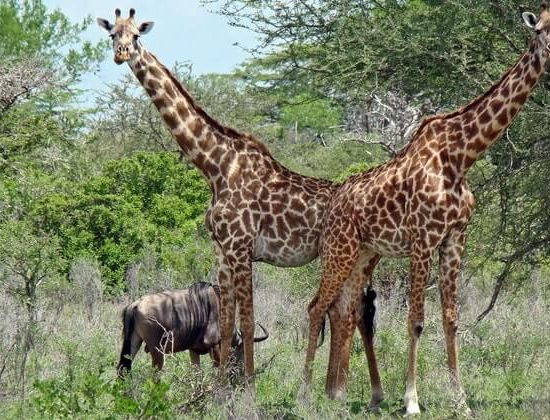 Nyika Discovery - Arusha national park, lake Manyara, lake Natron, Serengeti, Ngorongoro and Tarangire 9 days 03